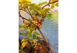 продавам семена Erythroxylaceae Coca (кока)