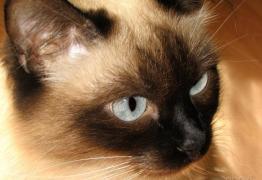 Търся мъжко сиамско тайско котенце от 1мес