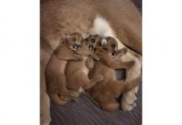 Serval и Savannah, каракал и оцелоти котенца на разположение