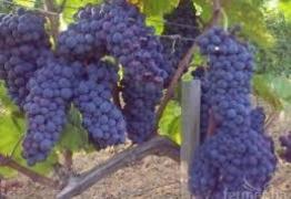 Продавам грозде – Мускат, Каберне, Памид.