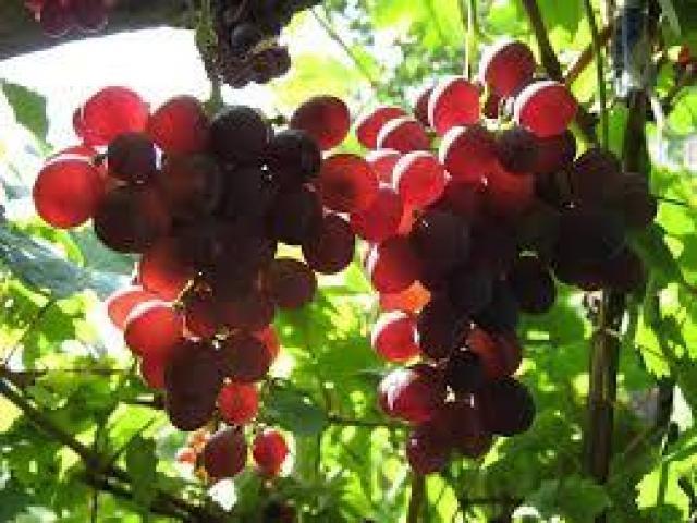 Продавам грозде - винени сортове: -  Памид.