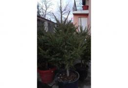 ЖИВИ Коледни елхи на най- добри цени